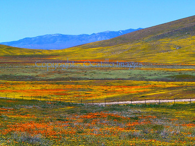 Desert Bloom / Antelope Valley, California