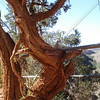 Tree at Hoover Dam