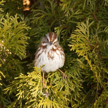 sparrow??