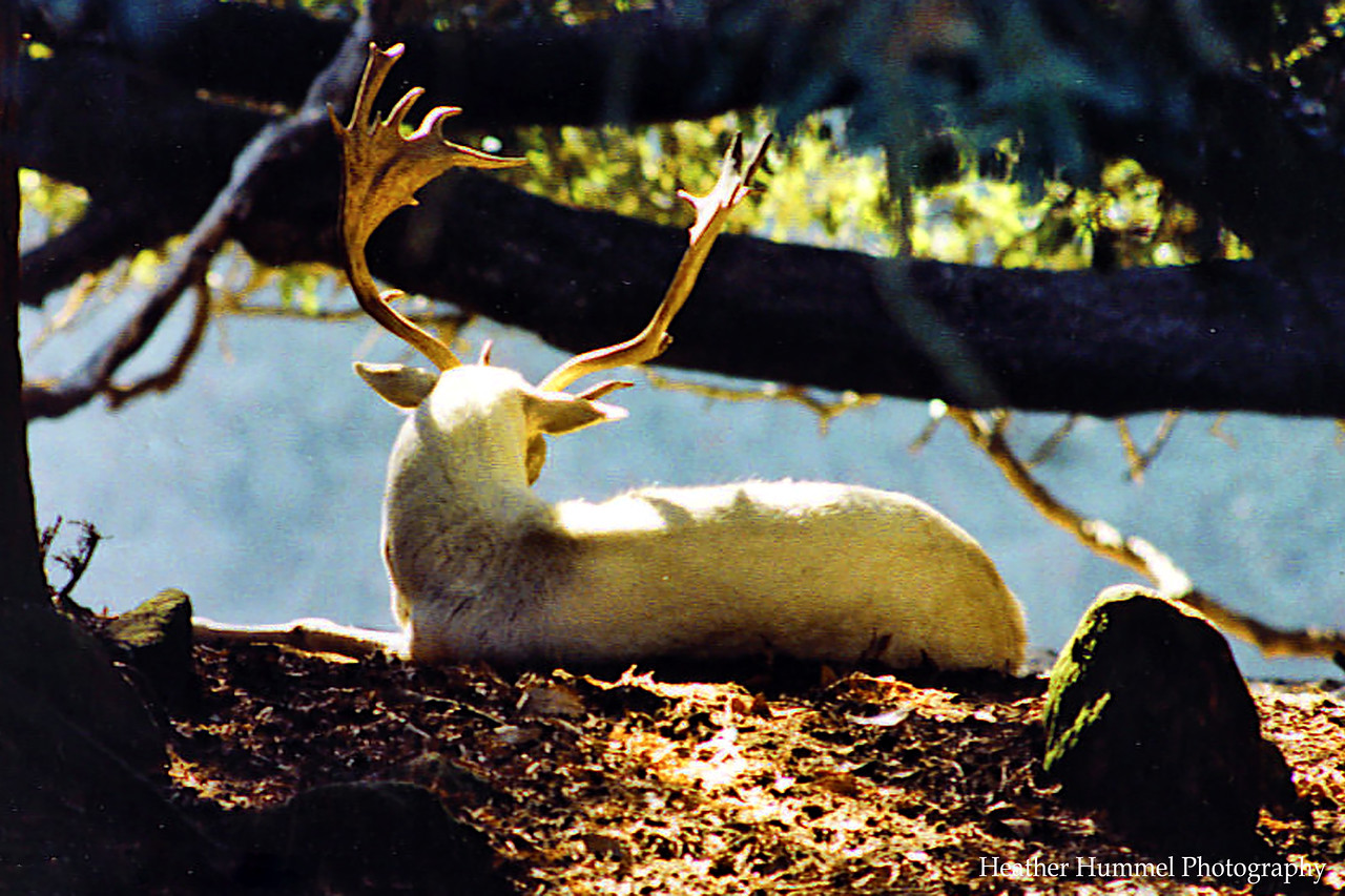 Albino Deer - Santa Cruz, California