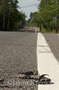 Lampropeltis getups, Eastern Kingsnake; Burlington County, Route 563, Chatsworth, New Jersey  2013-06-01  #