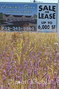 Liatris graminifolia, Grass-leaved Blazing Star; Ocean County, New Jersey   2013-09-18  #1