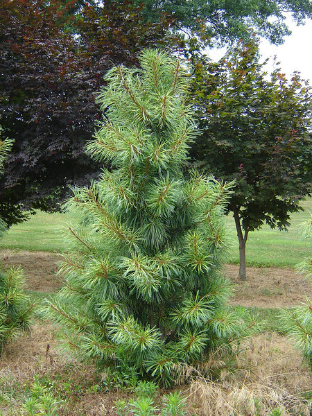 Pinus koraiensis 'Jack Korbit'  Korean Pine