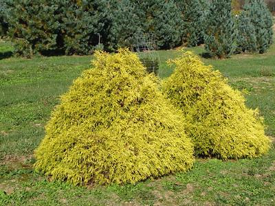 Chamaecyparis pisifera 'Aurea Nana'