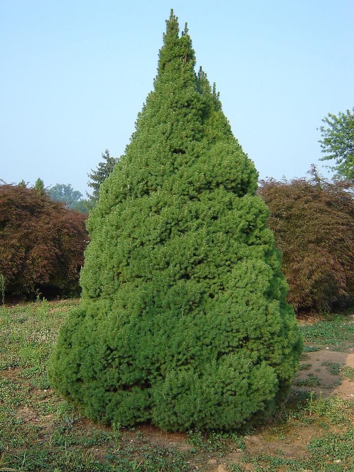 Picea glauca 'Conica'   Dwarf Alberta Spruce