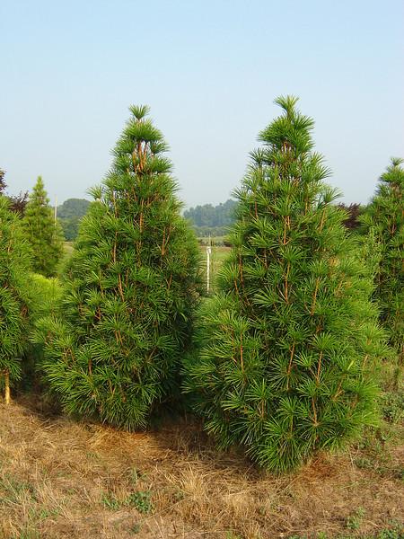Sciadopitys verticillata 'Winter Green'  Japanese Umbrella Pine