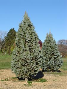 Picea pungens 'Fastigiata'