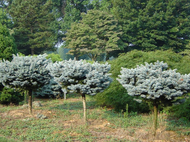 Picea pungens 'Glauca Globosa' on standard  Globe Blue Spruce on Standard