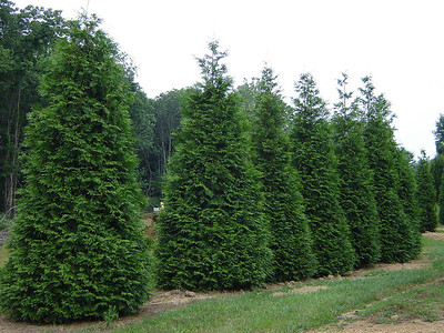 Thuja plicata 'Green Giant'  Green Giant Arborvitae 30-40'+ mature height.  Fantastic screening tree!