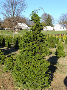Slender False Hinoki Cypress Average height to 15'