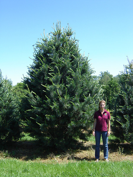 Pinus flexilis 'Vanderwolf's Pyramidal'  Limber Pine 30-50' mature height