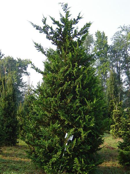 Chamaecyparis obtusa 'Filicoides'   Fernspray Cypress