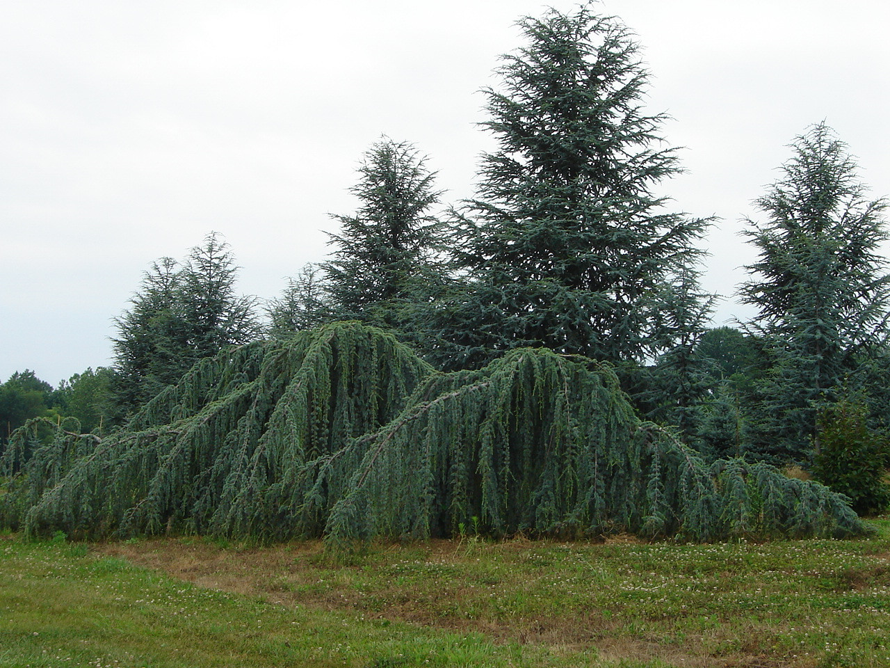 Cedrus atlantica 'Glauca Pendula'  Weeping Blue Atlas Cedar Height of trees will depend on where the plants starts to weep over.