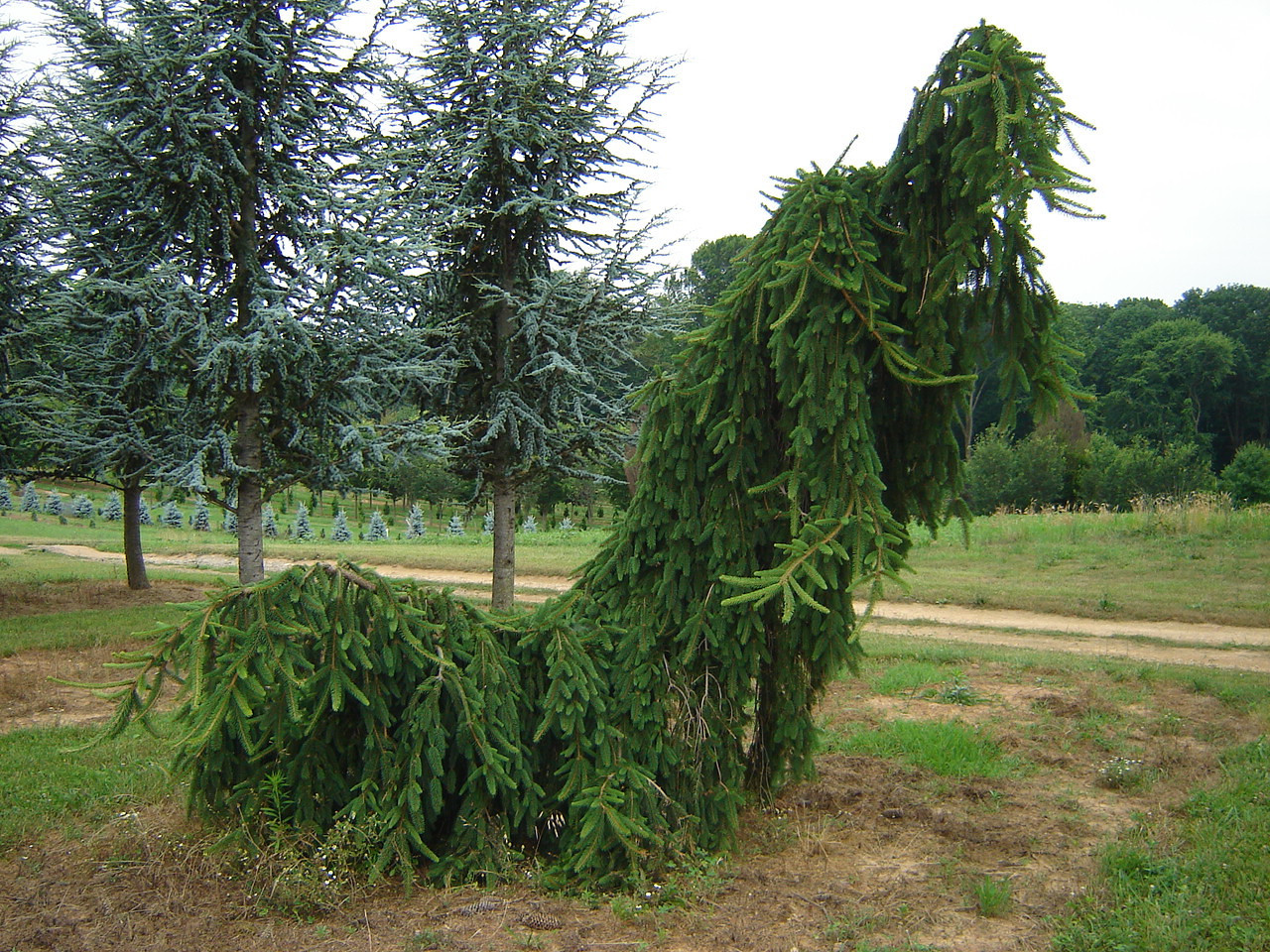 Picea abies 'Pendula' (specimen)  Weeping Norway Spruce 8-10' high x 8' wide