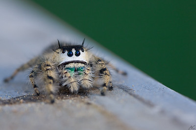 Regal Jumper on the Edge  A perpetually sad jumping spider threatens to do as her name implies.  I found this Regal Jumping Spider ( Phidippus otiosus) on a tall Moon Flower vine in North Carolina.  She was completely non aggressive and quite agreeable to a photo shoot.  She is pictured here on a painters' ladder.  :)  Given the strong resemblence of her markings to a very sad face and her proximity to the edge, she seems to be saying