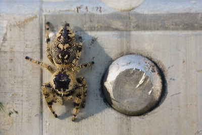 Regal Jumper from Above  Whether she was finished with her meal or not, she quickly became more interested in me and discarded it. Jumping spiders are so curious! In this image, she is on the side of the ladder I'd used to climb up and take a peek at her on the Moon Flower vine.  She wandered fearlessly around the various surfaces of the ladder. Here you can see her top markings.