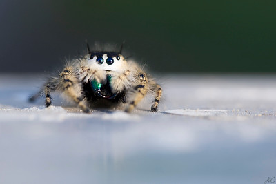 What large fangs you have!  Here you can quite clearly see this young female Regal Jumping Spider's bloody fangs! Such a sweet little killing machine. lol