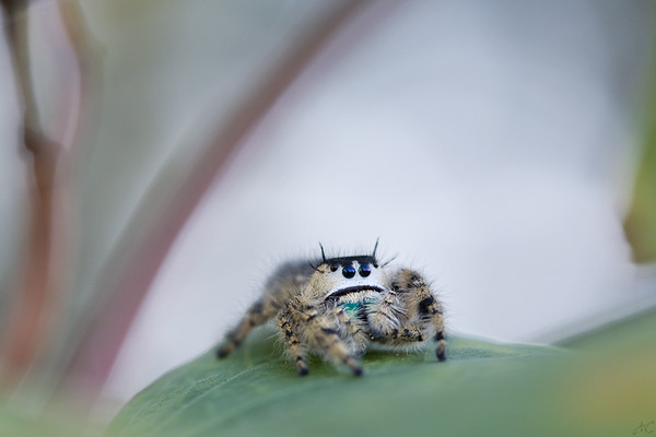 Back Home on Her Moon Flower Vine  After our short visit, I returned this lovely Regal Jumping Spider to her vine.