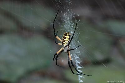 Black and Yellow Garden Spider - (Argiope aurantia)