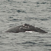 Arching for a deeper dive, a gray whale shows its flank during whale watching trip aboard the Spirit out of Ports O'Call Village in San Pedro, CA on January 26, 2013. Photo © Bernardo Alps/PHOTOCETUS/All rights reserved.