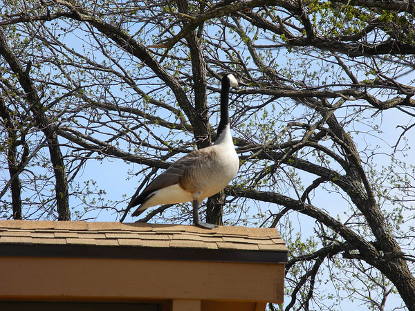 Goose on Roof-1