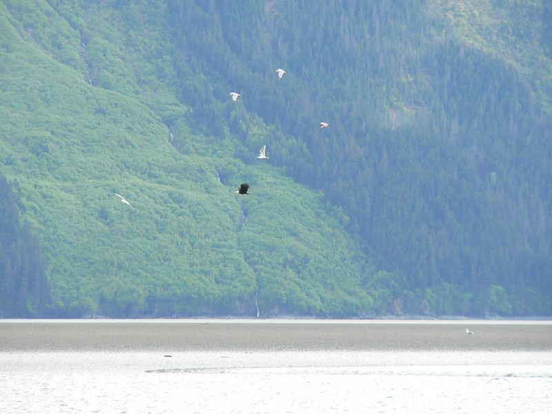 Gulls and an Eagle race ahead of an incoming Bore Tide