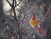 _MG_9200 cardinal