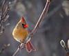 _MG_9195 cardinal