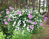White Bacopa & pink Verbena