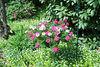 Basket of Verbena amid Sweet Woodruff (ground cover)in bloom