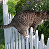 Cat on a hot white picket fence.