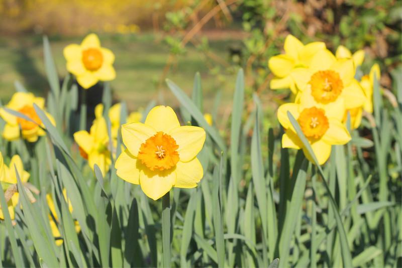Tulips, April 2013 Copyright Sue Steinbrook