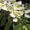 Stella viburnum in bloom