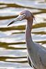 Reddish Egret--Merritt Island NWR