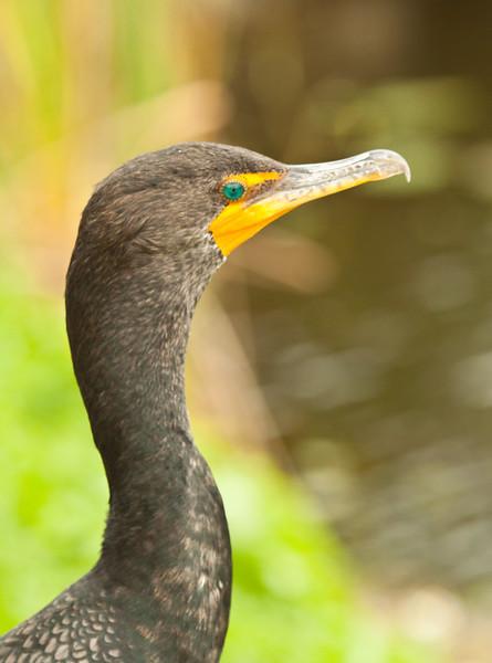 Cormorant at Anhinga Trail Everglades NP
