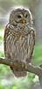 Barred Owl- Corkscrew Swamp