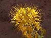 bee plant
