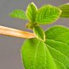Soybeans / Edamame