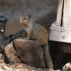 P9080238_BabySquirrel