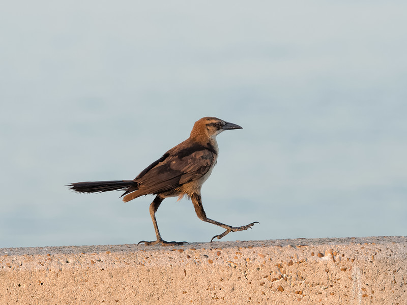 High-Stepping Grackle
