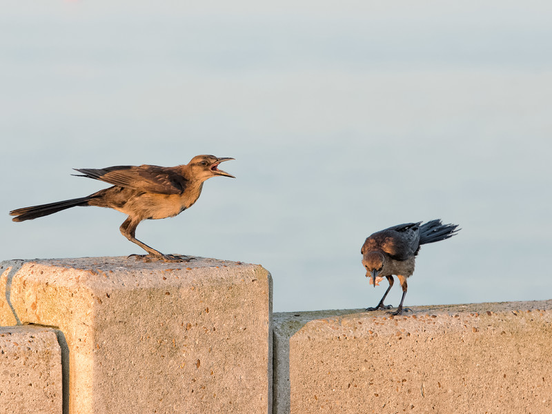 Mouthy Grackle