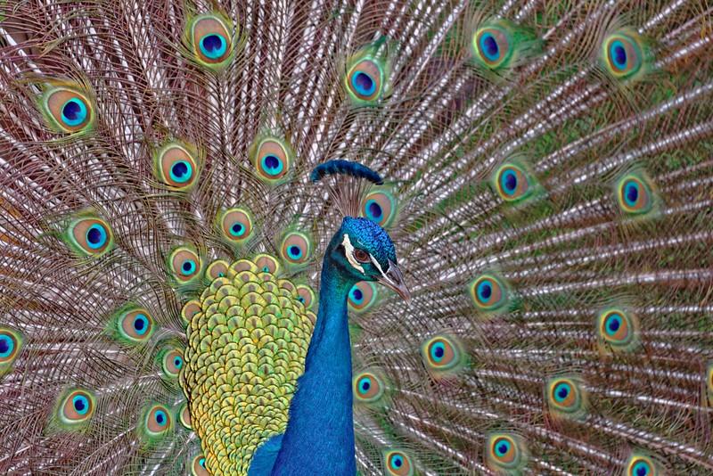 Peacock detail.