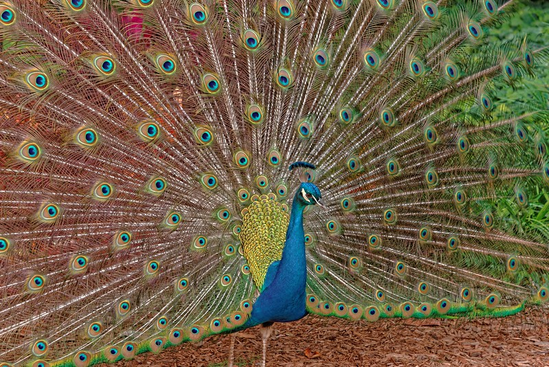 Another peacock at the Fountain of Youth museum.