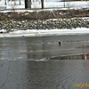 """I was with some friends and family (nephew) at a park along the Mississippi River when we saw this eagle riding this chunk of ice by Harriet Island on Sunday, March 23rd 2014.<br /> <br /> <br /> Other<br /> <br /> Minnesota<br /> <br /> 3 men rescued off ice chunk in Mississippi River<br /> <a href=""""http://www.kare11.com/story/news/local/minnesota/2014/04/03/3-men-rescued-off-ice-chunk-in-mississippi-river-brainerd/7261041/"""">http://www.kare11.com/story/news/local/minnesota/2014/04/03/3-men-rescued-off-ice-chunk-in-mississippi-river-brainerd/7261041/</a><br /> <br /> <br /> USA<br /> <br /> -Connecticut<br /> <br /> Heights of eagle watching on the lower Connecticut River<br /> By Diane Bair and Pamela Wright<br />  