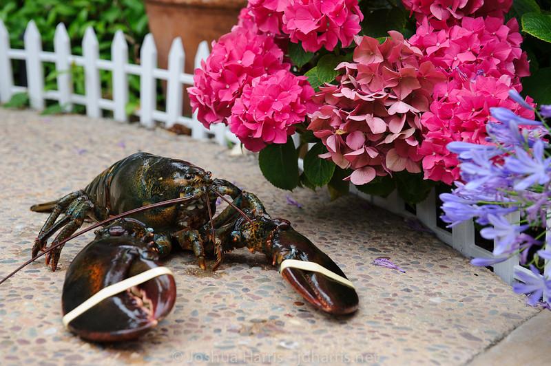 He's a garden lobster
