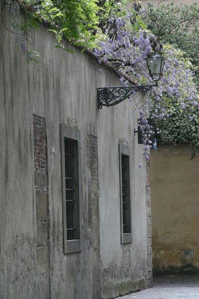 Wysteria - Grey Wall Lucca, Italy