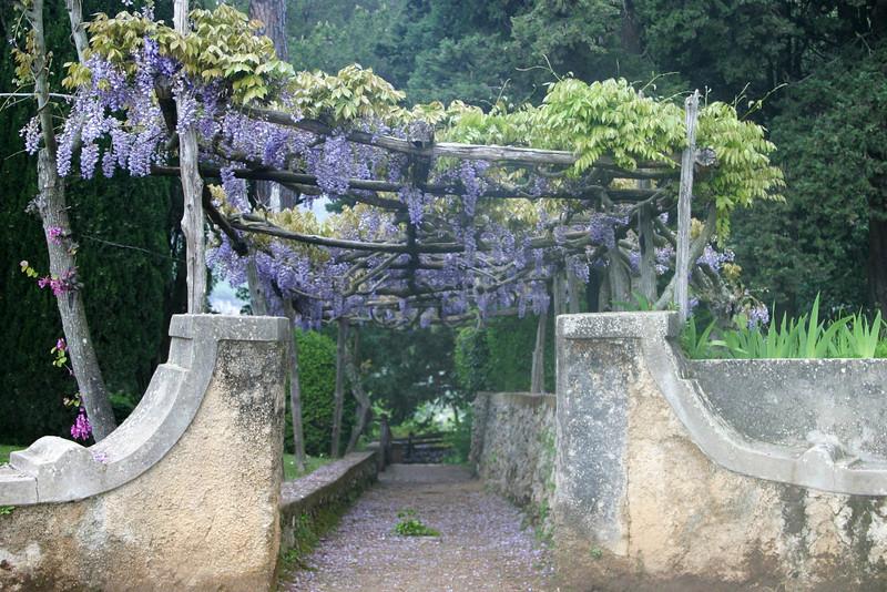 Wysteria on Trellis Ravello, Italy