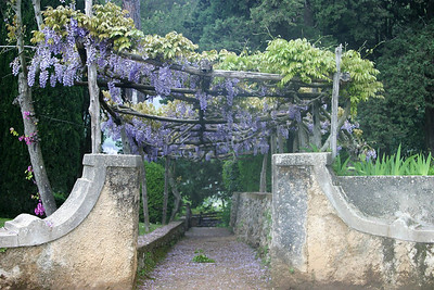 Wysteria on Trellis Ravello, Italy