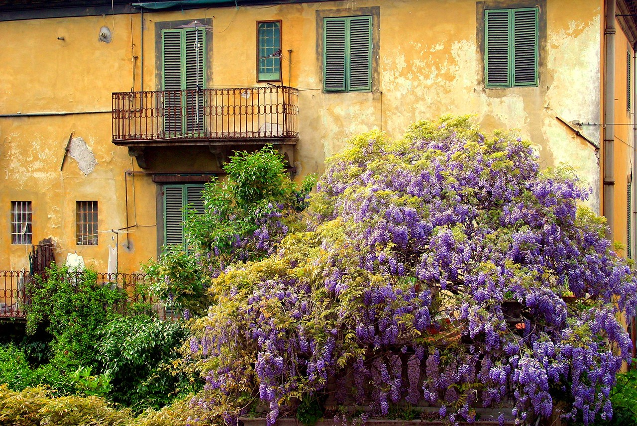 Wysteria with Yellow Wall