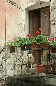 Dog on Porch Manarolla, Cinque Terre, Italy
